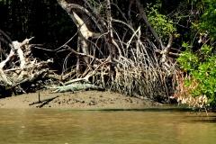 Krokodil bei Elephant Island