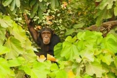 Schimpanse auf den Baboon Islands