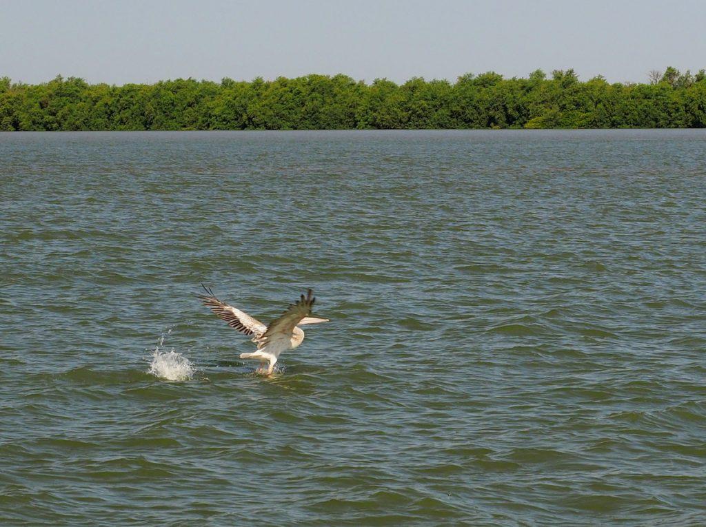 Pelikan auf dem Gambia River